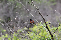 Possibly an oriole? Couldn't identify....